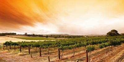 summer vineyard sunrise